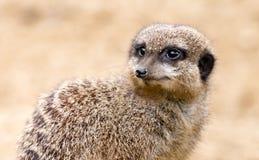 Meerkat auf einem Sandhintergrund Stockfotografie