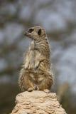 Meerkat auf Felsen Stockfotografie