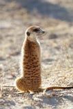 Meerkat auf Schutz - Südafrika Stockfotografie