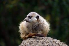 Meerkat auf Uhr Stockfoto