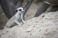 Meerkat avec l'espace du sable Photos libres de droits