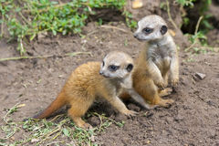 Meerkat babies Royalty Free Stock Photography