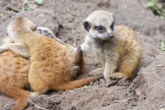 Meerkat babies Stock Photos