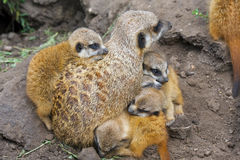 Meerkat babies Royalty Free Stock Photos