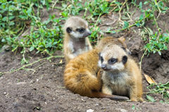 Meerkat babies Stock Photography