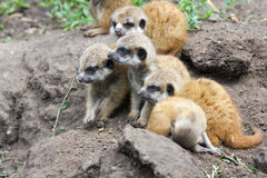 Meerkat babies Stock Photos