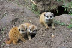 Meerkat babies Stock Photography
