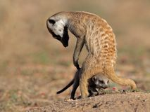 Meerkat with baby Royalty Free Stock Photo