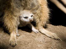 Meerkat Baby. A baby Meerkat peers out into the sunlight through an adult meerkats legs Stock Photography