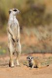 Meerkat with baby. Meerkat (Suricata suricatta) with curious baby, Kalahari desert, South Africa Royalty Free Stock Images