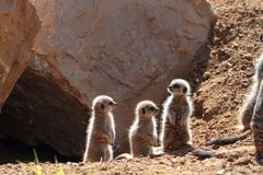 Meerkat babys. On the look out Royalty Free Stock Image