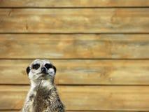 Meerkat background Stock Image