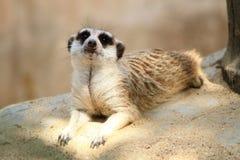 Meerkat, Bangkok zoo. A meerkat in the most famous Dusit zoo in Bangkok, Thailand Stock Photography