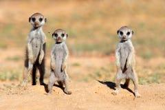 Meerkat behandla som ett barn Royaltyfri Bild