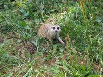 Meerkat bekijkt recht de camera, aard royalty-vrije stock foto's