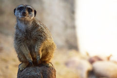 Meerkat Bends Stock Photos