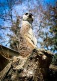 Meerkat beobachtet lizenzfreie stockfotografie