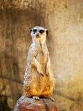 Meerkat bevindend horloge Stock Foto