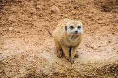 Meerkat in Bioparc Zoo in Valencia, Spain Royalty Free Stock Photography