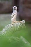 Meerkat-Blick auf mich Stockbilder