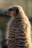 Meerkat boczny widok Zdjęcia Royalty Free
