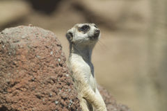 Meerkat bonito Fotografia de Stock