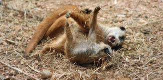 Meerkat brawl. Photo of two Meerkats fighting Stock Images