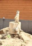 Meerkat. Brown meerkat (Suricata suricatta) standing on a chock (ZOO Tabor, Czech Republic Stock Photos