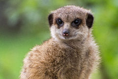 Meerkat. In Burgers Zoo Arnhem the Netherlands Stock Photography