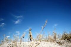Meerkat, céu e nuvens Foto de Stock Royalty Free