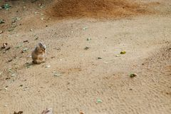 Meerkat or Cape ground squirrel or gopher. Desert mammal and small rodent and wild animal. Meerkat or Cape ground squirrel or gopher. Desert mammal and small Stock Photography