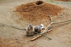 Meerkat or Cape ground squirrel or gopher. Desert mammal and small rodent and wild animal. Meerkat or Cape ground squirrel or gopher. Desert mammal and small Stock Photo