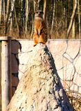 Meerkat. Careful meerkat looking around the environment Stock Photos