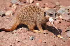 Meerkat Catches Mouse Royalty Free Stock Photo