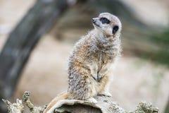 Meerkat che custodice il territorio Immagine Stock