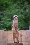 Meerkat che custodice il territorio Fotografia Stock