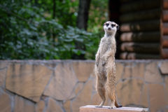 Meerkat che custodice il territorio Fotografia Stock Libera da Diritti