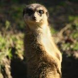Meerkat che esamina macchina fotografica Fotografie Stock