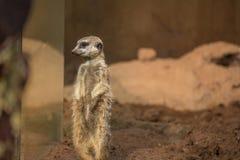 Meerkat che guarda con l'orizzontale di vetro con lo spazio della copia Fotografia Stock Libera da Diritti