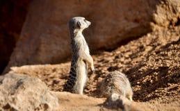 Meerkat che guarda l'orizzonte Fotografie Stock