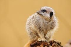 Meerkat che osserva al lato Fotografia Stock Libera da Diritti