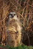 Meerkat che si leva in piedi nella canna Fotografia Stock