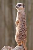 Meerkat che si leva in piedi sulla protezione Fotografie Stock Libere da Diritti