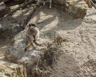 Meerkat che si siede su una roccia Immagini Stock Libere da Diritti