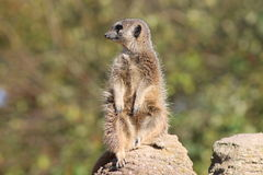 Meerkat che si siede su una roccia che guarda intorno Fotografie Stock Libere da Diritti