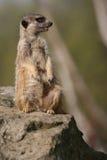 Meerkat che si siede sulla pietra Immagini Stock Libere da Diritti