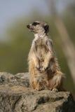 Meerkat che si siede sulla pietra Immagini Stock