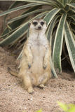 Meerkat che si siede sulla sabbia Immagini Stock Libere da Diritti