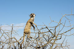 Meerkat che si siede in un albero Fotografia Stock