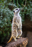 Meerkat che sta fiero fotografia stock